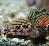 Мандаринка глазчатая (красная) (Synchiropus ocellatus)