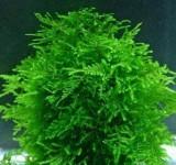 Мох Тайвань (Taiwan Moss - Taxiphyllum alternans)