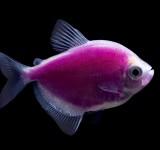Тернеция фиолетовая флуоресцентная (Gymnocorymbus ternetzi)