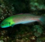 Талассома двухцветная (самка) (Thalassoma amblycephalum)