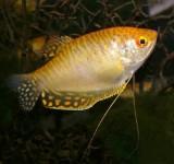 Гурами обыкновенный золотой (Trichogaster trichopterus - var.)