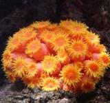 Тубастрея оранжевая (желтая) (Tubastraea sp.)