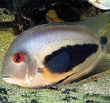 Уару двушипый (Клинопятнистая цихлида) (Uaru amphiacanthoides)