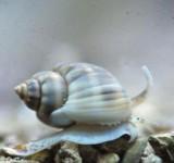 Улитка нассариус (Nassarius Distortus)