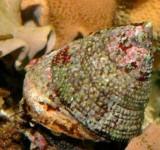 Улитка-водорослеед волчок полосатый (Trochus virgatus)