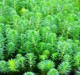 Уруть прозерпинаковидная или водная (Myriophyllum aquaticum)
