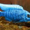 Хаплохромис васильковый (Sciaenochromis fryeri)