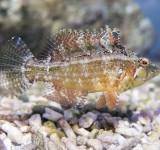 Ксеноюлис пятнистоплавничный (Xenojulis margaritaceous)