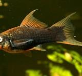 Меченосец черный (Xiphophorus hellerii var.)
