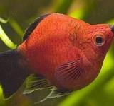 Пецилия дисковая (редиска) (Xiphophorus maculatus var.)