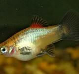 Пецилия голубая - коралловая (Xiphophorus maculatus var.)