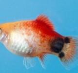 Пецилия - Микки Маус (Xiphophorus maculatus var.)