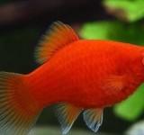 Пецилия красная - коралловая (Xiphophorus maculatus var.)