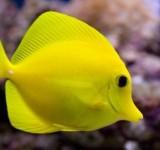 Зебрасома парусная желтая (Zebrasoma flavescens)
