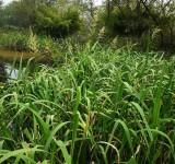 Зизания (цицания) широколистная, водяной рис (Zizania latifolia) (контейнер 2л или корневище)
