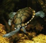 Черепаха змеиношейная Зибенрока (Chelodina siebenrockie)