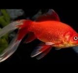 """Золотая рыбка """"Комета"""" (Carassius auratus comet)"""