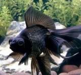 """Золотая рыбка """"Телескоп"""" (Telescope Eye Goldfish)"""