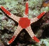 Звезда фромия элегантная (Fromia monilis)