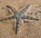 Звезда песчаная (Archaster typicus)