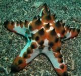 Звезда протореастер шоколадная (Protoreaster nodosus)
